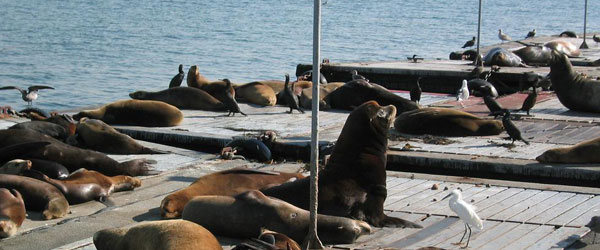 California Sea Lions sun bathing