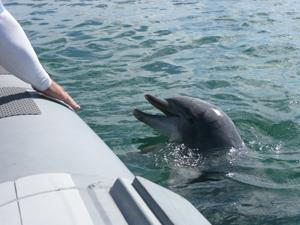 dolphin next to RIB boat