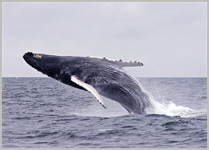 Breaching whale off of southern California coast.